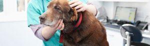Senior Labrador with vet